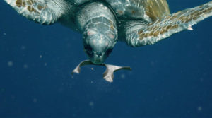 Anillos comestibles de 6 pack que salva la vida marina